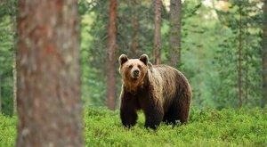 Altató lövedékkel meglőtték a Magyararországon kóborló medvét – fotók