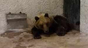 """Rövidesen eldől az ország medvéjének sorsa – """"Talán nem kellett volna ekkora hajszát indítani ellene"""""""