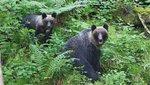 Halálos veszély: Bocsa védelmében támad a medve!