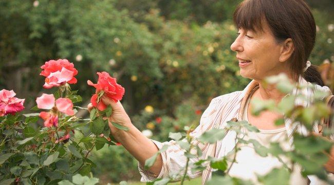 Így kell metszeni a rózsát