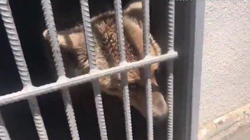 Szörnyűséges körülmények közül mentették kimedvéket - videó