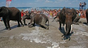 Elefántok fürödtek a lellei strandon a Balatonban - fotók