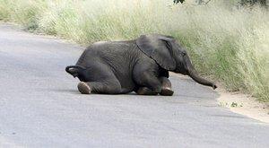Napi cuki! Elefántocska az úton