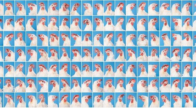 168 csirkéről készített portrét Dániel