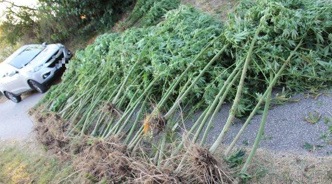 Gondolni kell a nyugdíjas évekre is: 62 évesen termesztett marihuanát a kukoricásban a baksi férfi