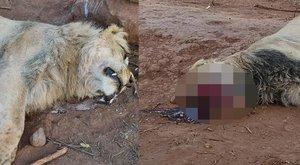 Brutálisan megcsonkították az oroszlánokat egy fekete mágiás rituálé miatt