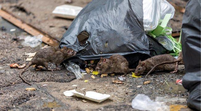 Patkánykrízis Budapesten - Új méreggel próbálkoznak