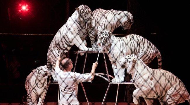 Fehér tigrisektő esett le a Nagycirkusz közönségének álla - videó