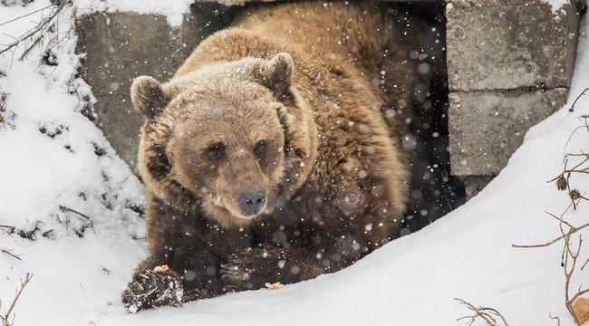 Meglestük, tényleg alszanak-ea medvék télen