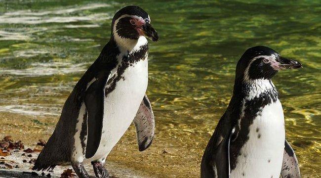 Egy férfi véletlenül lopott pingvineket vett a Facebookon
