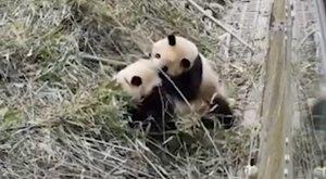 Te jó ég! A pandáknál még az is irtó cuki, ha ütik-vágják egymást