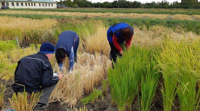 Női neveket kap a Békésben nemesített rizs