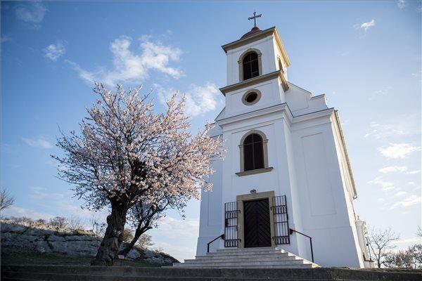 A pécsi havihegyi mandulafa lett az év európai fája - fotók | BorsOnline