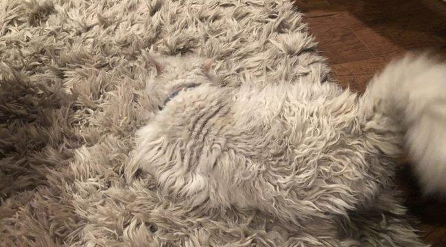 Micsoda tökéletesség! Ennyire még sosem passzolt macska szőnyeghez – videó