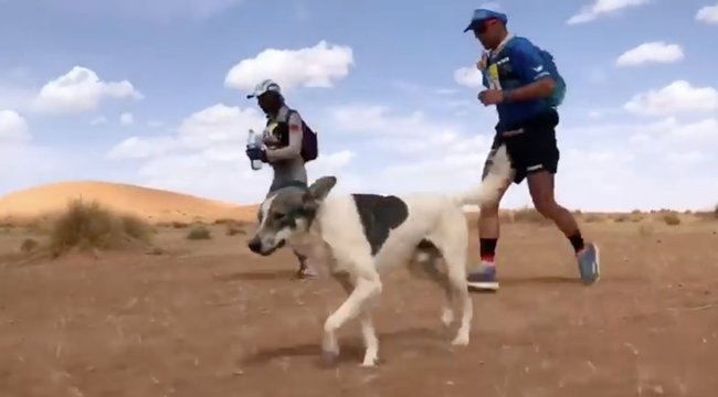 Cactus, a kutya úgy döntött, lefutja a szaharai ultramaratont - videó