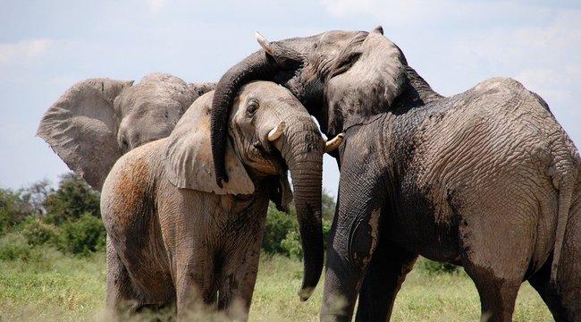 Megfejtették a kutatók: ezért lesz zöld az elefántok pénisze párzási időben