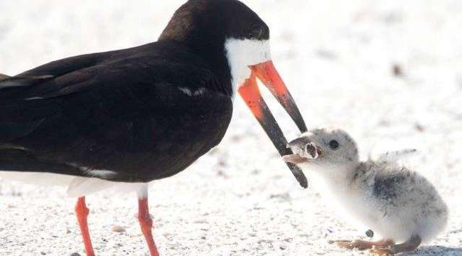 Tragikus fotók készültek arról, ahogy cigarettacsikkel etetei fiókáját egy madár