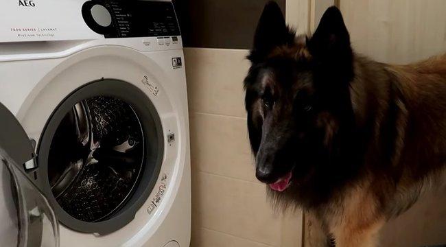 Hát nem édes? Ez a kutya maga intézi a nagymosást - videó