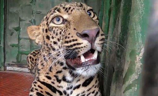 Példaértékű összefogással mentettek meg egy fuldokló leopárdot – videó