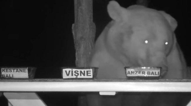 Mézet lopkodtak a medvék, ezért a méhész minőségellenőrt csinált belőlük – videó