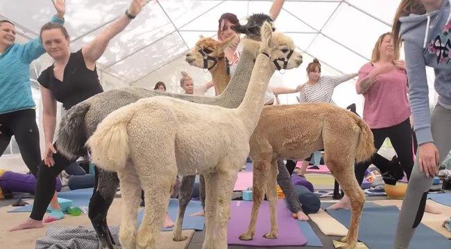 Feszült? Lazuljon alpaka-jógával! videó