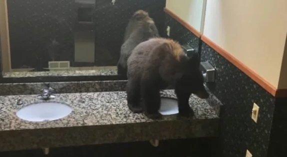 Egy álmos medve bement aludni egyet a női mosdóba
