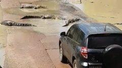 Vérfagyasztó pillanatok – tucatnyi gyilkos krokodil között próbál elhaladni az autós