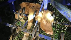 Talajművelő gépbe szorult a bikabébi