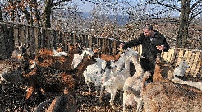Kóbor vérebek öltek terápiás kecskéket