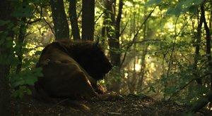 Az Őrségben vadon élnek a bölények