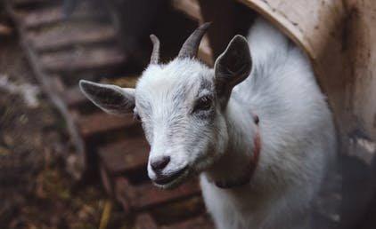 Döbbenet: öt kecskegida született egy győri farmon
