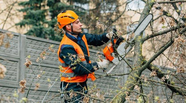 Fakivágás –A taplógomba jelzi, hogy beteg a fa
