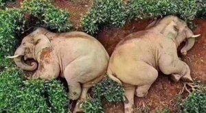 Farkaséhes elefántok törtek be egy kínai tea farmra, de úgy berúgtak, hogy nem bírtak kimenni onnan