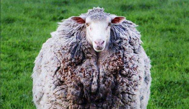 Kétségtelenül ő a társadalmi távolságtartás nagymestere: hét év után tért haza az elkóborolt juh
