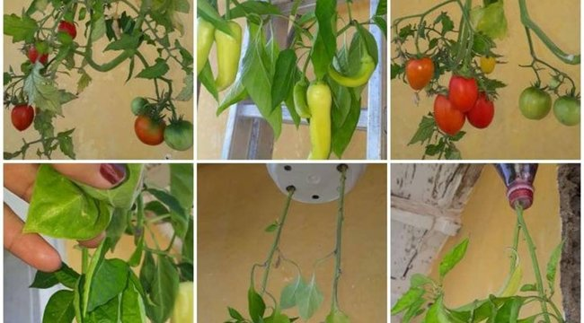 Nagyon bizarr módon termeszt paradicsomot a jászsági háziasszony
