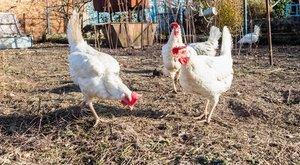 A kutatók sem értik, hogyan tojhat ilyen tojásokat egy tyúk