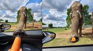 Ilyen, amikor váratlanul egy elefántormány nyúl a kocsiba – fotók