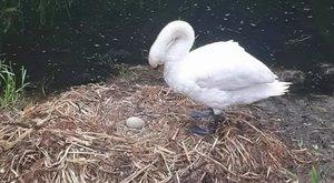 Döbbenet: belehalt a bánatba a hattyú, akinek megrongálták a fészkét és tojásait