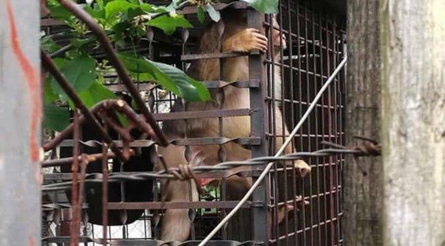Az emberekre támadó makákók tömeges sterilizálásába kezdtek Thaiföldön
