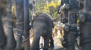 Brutális videó: így törik be a szórakoztatásra szánt elefántokat Thaiföldön