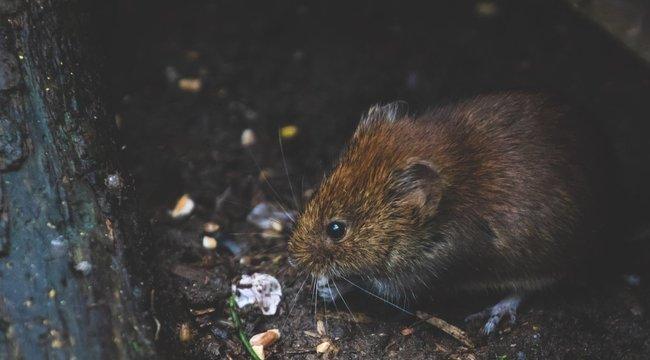 Gyomorforgató: patkányok rágják a holttesteket egy párizsi egyetem kutatási központjában