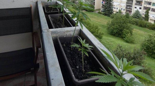 Virág helyett inkább marihuánát termesztett az erkélyen a salgótarjáni férfi - fotók