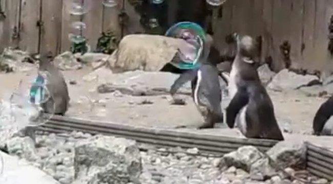 Mára már nem kell cukibb a buborékokat kergető pingvineknél– videó