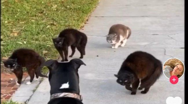 Ezt látni kell: ilyen, amikor négy macska befenyít egy nagytestű kutyát – videó