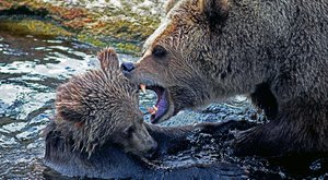 Csak szelfizni akart, széttépték a medvék a kiskamaszt – barátai végignézték a horrort