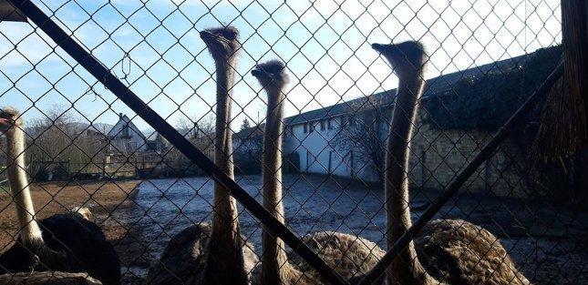 Túszejtő strucc szökött meg Esztergomból