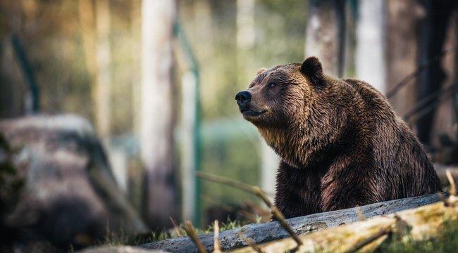 Csoda, hogy él: ököllel esett a barna medvének egy vakmerő orosz nyugdíjas – 18+ Fotó
