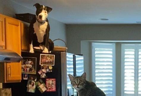 Macskának képzeli magát a pitbull: a szekrény tetejére is a cicusok után mászik – Fotók