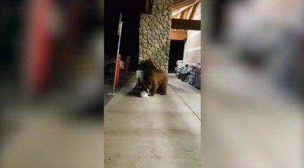 Chipset lopott a hatalmas medve, majd leült a bolt elé megenni – videóval