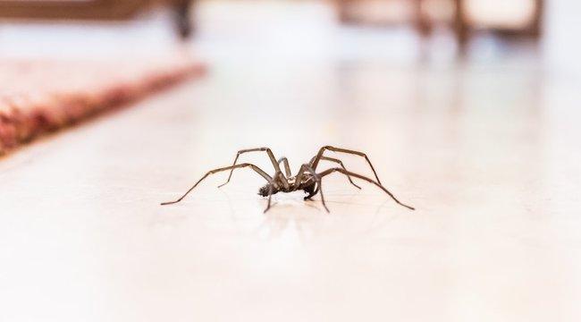 Csak félelmében támad emberrea lakásban megbúvó pók